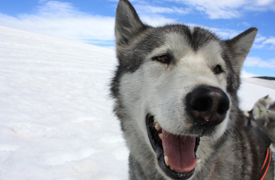 """a sled dog, with its mouth open as if it's saying """"Hey!"""""""