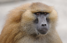 a Guinea baboon, gazing pensively into the distance