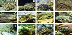 Select crayfish from the Mobile-Ten-saw Delta, lower Alabama River, lower Tombig-bee, and adjacent watersheds. A) Cambarus miltus, B) Faxonella clypeata, C) Cambarellus diminutus, D) Cambarellus shufeldtii, E) Orconectes jonesi, F) Orconectes perfectus, G) Fallicambarus burrisi, H) Fallicambarus fodiens, I) Procambarus shermani, J) Procambarus marthae, K) Procambarus lagniappe, L) Procambarus versutus, (Image credit: Guenter Schuster.)
